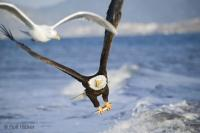 Bald Eagle Seagull In Flight