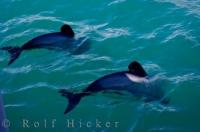 Hectors Dolphins Akaroa Harbour Banks Peninsula Wildlife Canterbury New Zealand