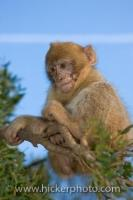 A young monkey known as a Barbary Macaque, sits quietly in a tree on The Rock of Gibraltar in Britain, Europe checking out the people and the scenery.