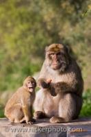 A couple of Barbary Macaques, a mother and baby pose for a picture as they sit atop a rock in Gibraltar in Britain in the United Kingdom.