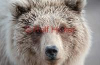 Young Grizzly Bear Portrait