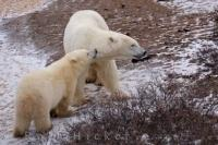 A playful polar bear cub play bites his mom on the neck while resting in the Churchill Wildlife Management Area on the shores of Hudson Bay, Canada.