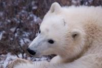 Cute Polar Bear Cub Portrait Picture