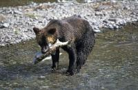 A brown bear fishing in Fish Creek near Hyder in Alaska, USA.