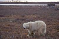 Polar Bear In Landscape Hudson Bay Canada