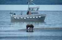 A alaskan brown bear is walking along the lake shore in Katmai National park in Alaska