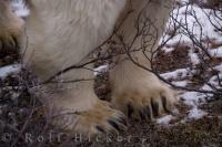 A close up of the the massive big paws of a polar bear featuring a row of sharp claws.