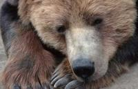 Photo of a cute bute large Grizzly bear - bear viewing pure!