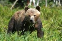 A young Grizzly Bear in Knight Inlet, British Columbia, photographed on a bear watching tour.