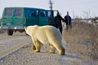 A group of tourists get a close encounter during a polar bear watching tour in Churchill, Manitoba, Canada.