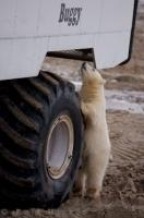 They call them polar bear watching tours but this cute little cub was actually watching the people on this tundra buggy in Hudson Bay, Canada.