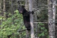 A cute black bear cub awaits patiently for it's mom to return, from the safety of a tree in British Columbia, Canada.