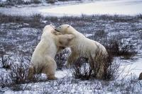 A bear fight breaks out between two polar bears, fighting over territory in Churchill, Manitoba.