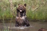 A grizzly bear poses for some cute bathing pics in Denali National Park in Alaska.