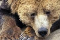 Although this cute grizzly bear isn't really sleeping he is resting and on full alert.