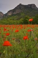 A field of bright red poppies stand out against the backdrop of the cliffs of Gorges du Verdon near the Moustiers Ste Marie in the Alpes de Haute, in the stunning region of Provence in France. The Gorges du Verdon is a river canyon known for its beauty.