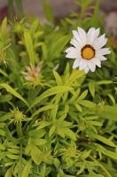 This beautiful solo white Gazania flower is the first to bloom in this clump of flowers in Oliva Nova, Valencia in Spain.