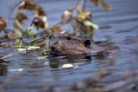 Hard working animals, beavers are constantly building and repairing their lodges and dams which they mostly do at night.