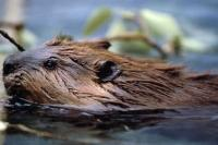 Commonly found in Canada and the USA, Beavers are the largest rodent in North America and are herbivores which dine on a variety of leafy or woody plants.