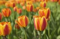 The Ottawa Tulip festival is a feast for the eyes, a sea of colourful tulips of every variety.