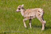 A picture of a spring bighorn lamb, likely born in May, frolicking in a grassy field in the Banff National Park, Alberta, Canada.