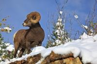 This Bighorn Ram looks ever alert as it stands on a rocky ledge in Waterton Lakes National Park in Alberta, Canada. This national park is a UNESCO World Heritage Site and Biosphere Reserve, so this Bighorn Ram lives in a protected area.