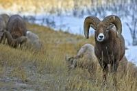 Two Bighorn Sheep graze on the grass with their herd along the Yellowhead Highway in Jasper National Park, Alberta. This National Park is part of the Canadian Rocky Mountain Parks UNESCO World Heritage Site.