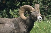 Bighorn Sheep Ram Eating Grass