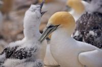 An adult Australasian Gannet amongst all the other birds, is very attentive to her chick and tends to her family with great care at the Cape Kidnappers Colony on the North Island of New Zealand.