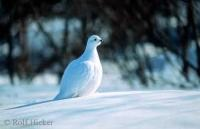 A great bird picture with a Ptarmigan, also called Willow Grouse