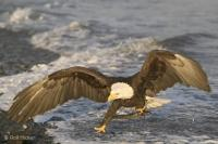 Landing Bald Eagle Bird Pictures