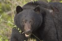 Image of a large male Black Bear