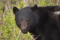 Black Bear Photos on Vancouver Island, British Columbia
