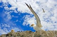 An Australasian Gannet prepares for take off at the Black Reef Colony on the North Island of New Zealand.