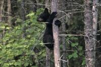 A very young black bear cub climbs a tree for safety in the Rocky Mountains of Canada.