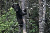 High up in a tree a little black bear cub waits alone for the return of its mother in British Columbia, Canada.