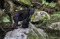 Sow Cub Black Bears