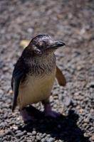A cute little Blue Penguin looks curiously at visitors to the Auckland Zoo, New Zealand.