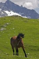 A lonely horse roams through the lush green mountain pass at Bonaigua Pass in the Pyrenees Mountain Range in Catalonia, Spain in Europe.