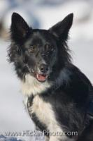 An active and energetic breed of dog, the Border Collie is a medium sized canine which is usually bred as a working dog for their agility and intelligence. This cute Border Collie dog really enjoyed a family outing in the Wildgerlos Valley, Austria.