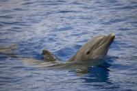 Bottlenose Dolphin Tursiops Truncatus Valencia Spain