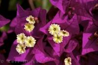 Picture Of Bougainvillea Spectabilis