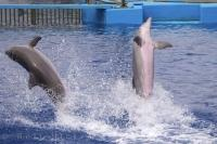 Two Bottlenose Dolphins at the L'Oceanografic in Valencia, Spain perform their breaching techniques for visitors to see how graceful these animals are.