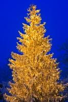 A tree covered in a light sprinkling of snow and shines bright on a cold winter evening in Freising, Germany.