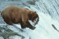 Large Brown Bear catching salmon at Brooks Falls in Alaska