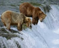 Picture of two brown bears fishing