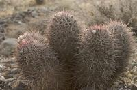 Wild Cotton Top Cactus Dessert Plant USA