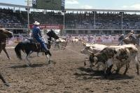 After hours of practice these cowboys get to show off their lassoing abilities on the Bulls at the Calgary Stampede.