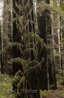A spindly moss covered tree is dwarfed by redwood trees in the Humboldt Redwoods State Park in California, USA.