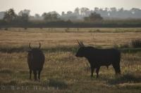 The Camargue bulls in this picture are just one species of animal that roam in the marshes in the Bouches du Rhone in Provence, France.